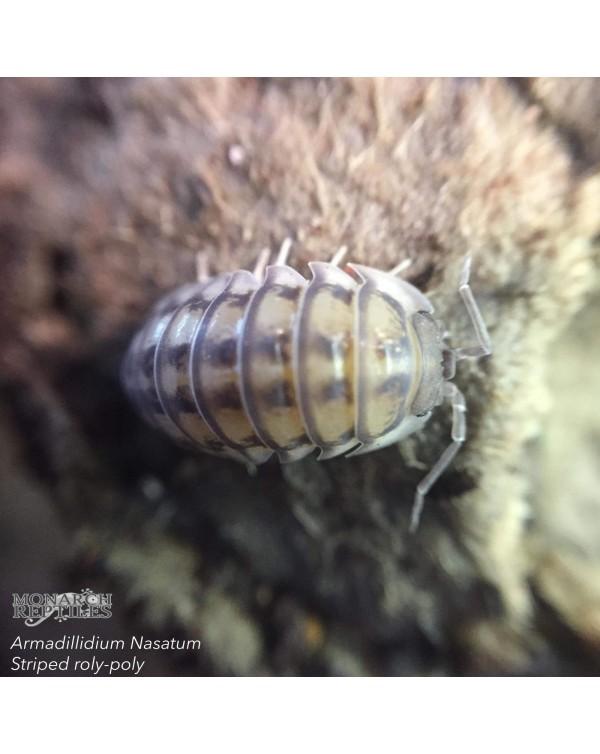 Armadilidium Nasatum Striped roly poly Isopods