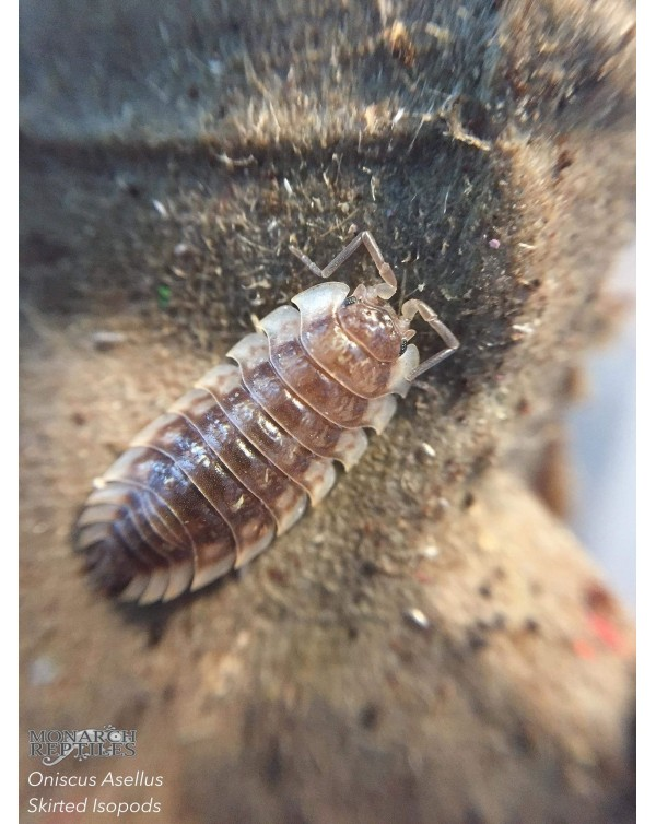 Skirted Isopods (oniscus asellus) Wild