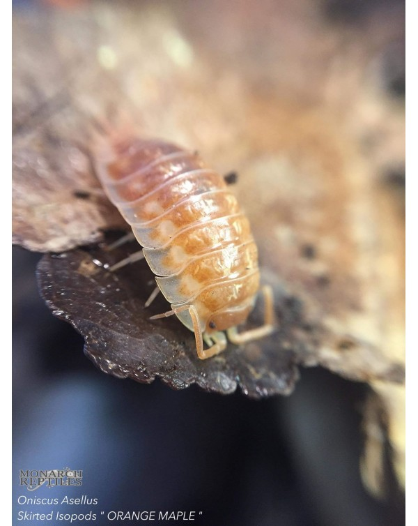 Maple Orange Skirted Isopods (oniscus asellus)