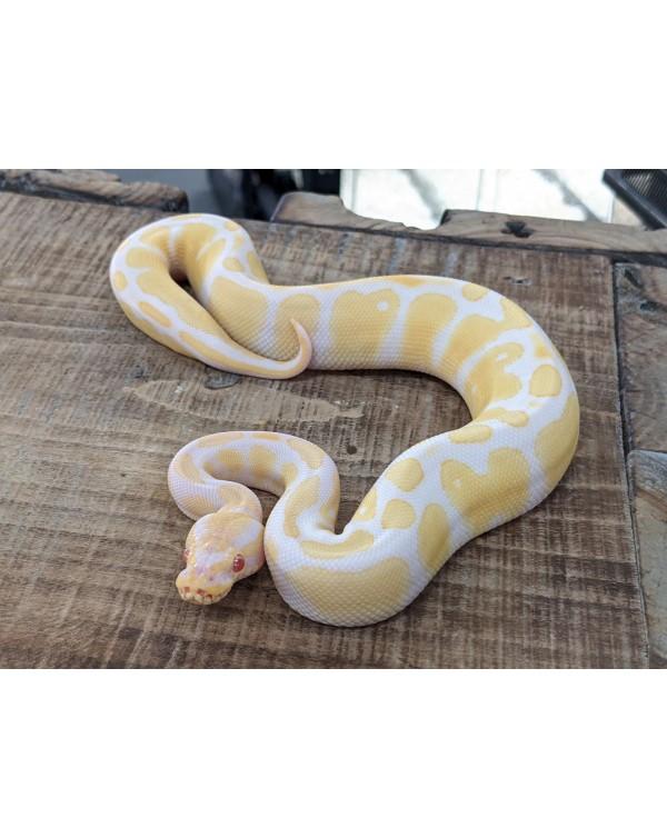 Ball Python - Albino het Pied- Female