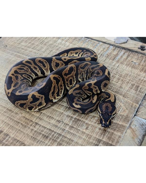 Ball Python - Black Pastel Leopard - Male
