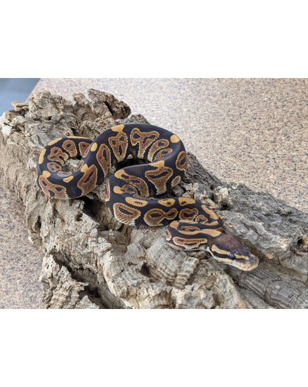 Ball Python - Black Pastel - Male