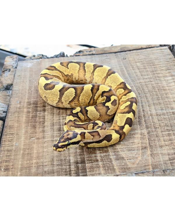 Ball Python - Enchi Fire Yellowbelly/Asphalt - Male (1)