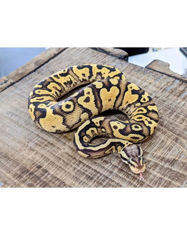 Ball Python - Firefly Yellowbelly/Asphalt - Male