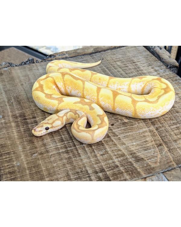 Ball Python - Banana Spider Yellowbelly/Spector het Clown - Male