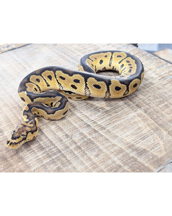Ball Python - Clown - Male