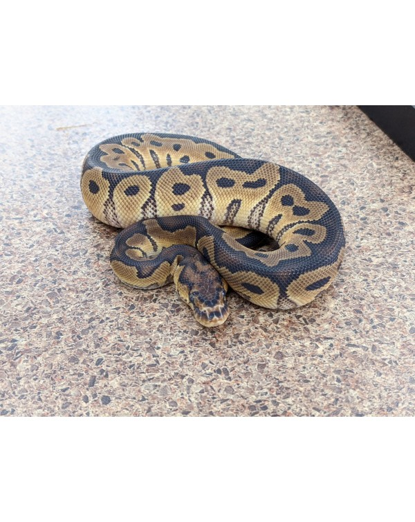 Ball Python  Clown - Male (2)