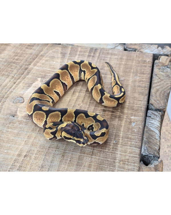 Ball Python - Enchi - Female