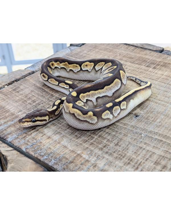 Ball Python - Lesser Sugar - Female