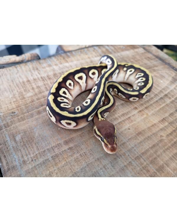 Ball Python - Mojave Cypress - male