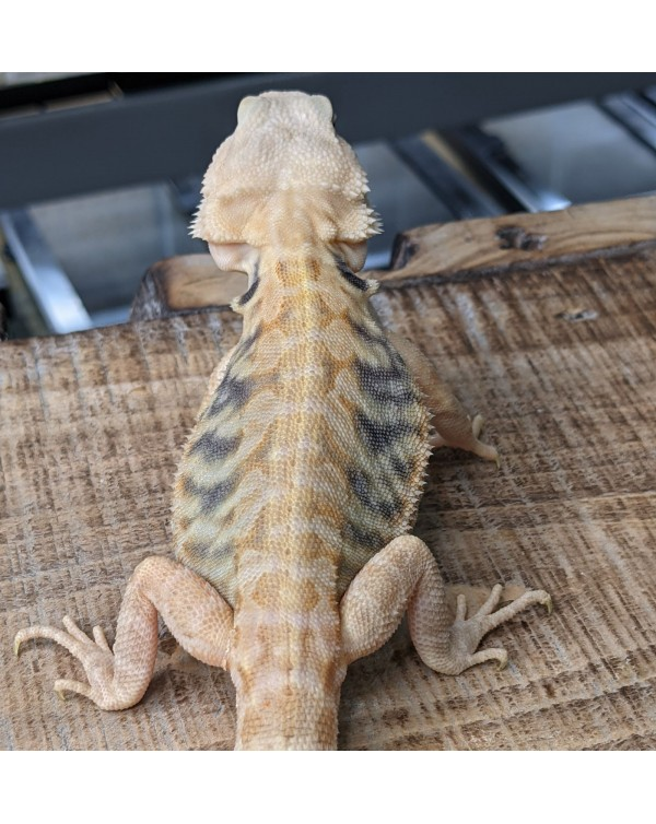 Bearded Dragon - Hypo Trans Leather  Male (2)
