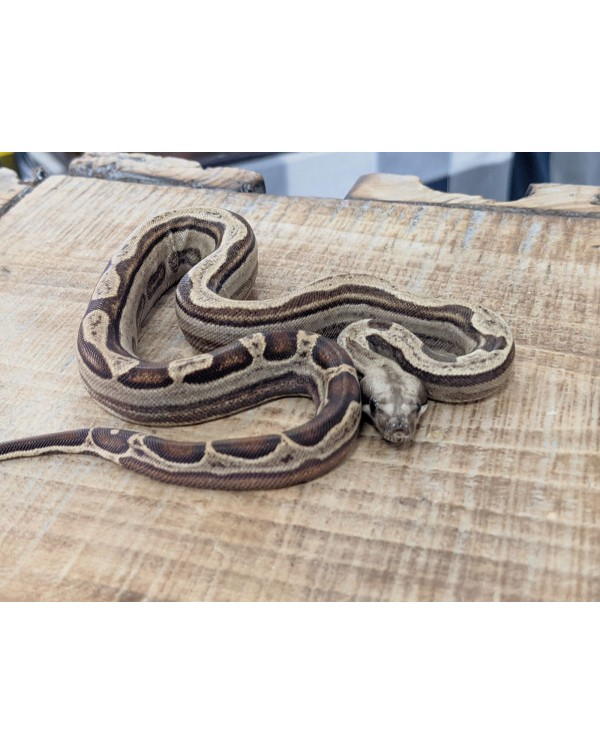 BCI - Motley het eclipse - female
