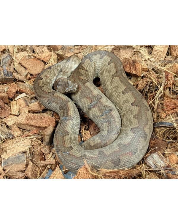 Solomon Island Ground Boa - Female (young adult) - Candoia