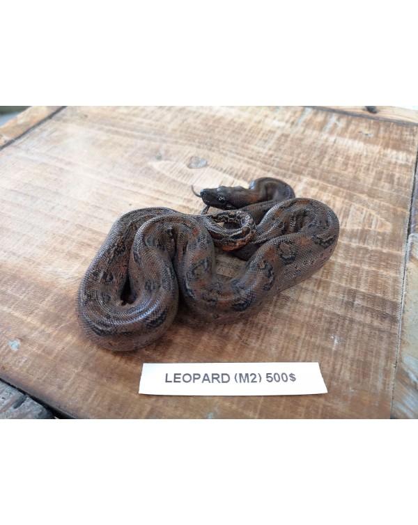 Leopard Boa- male 2