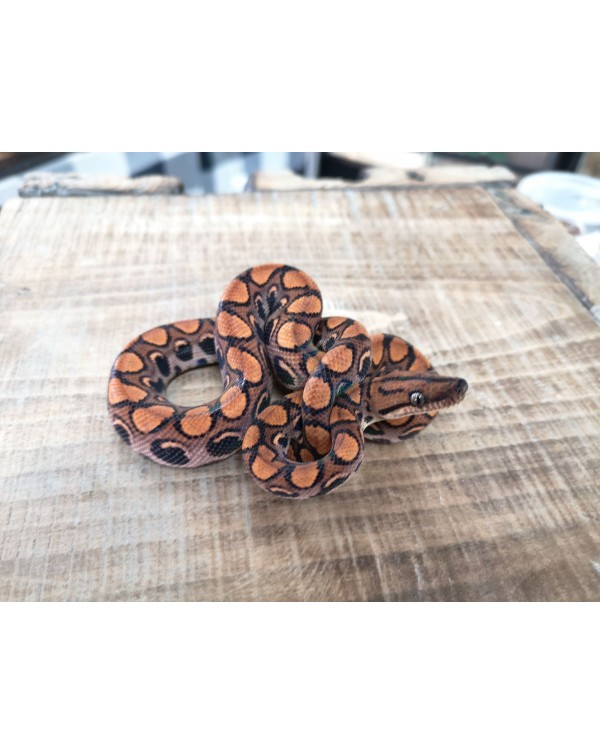 Brazilian Rainbow Boa- Male 1