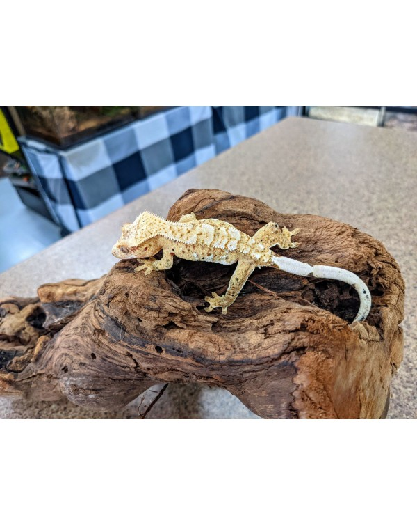 Crested Gecko (#3.1)