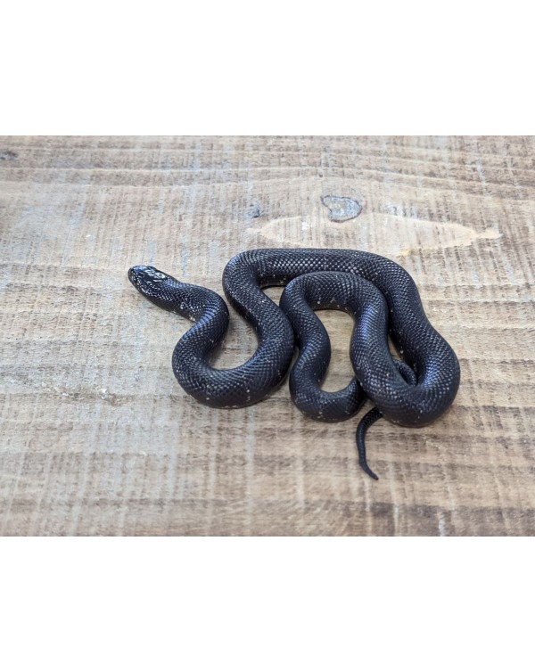 Kingsnake - California Chocolate Het Albino - Male