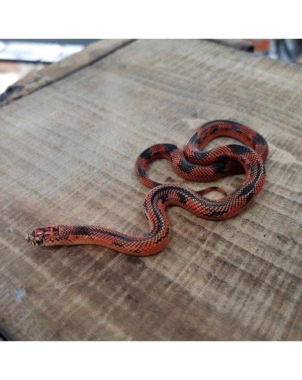 Kingsnake - Blotched Stripe - female