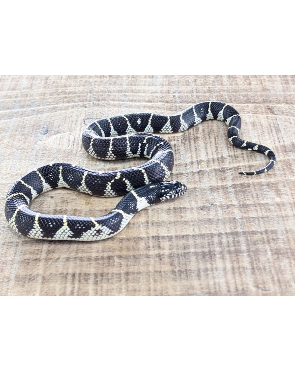 Kingsnake - California Het hyper lavender (snow)- female