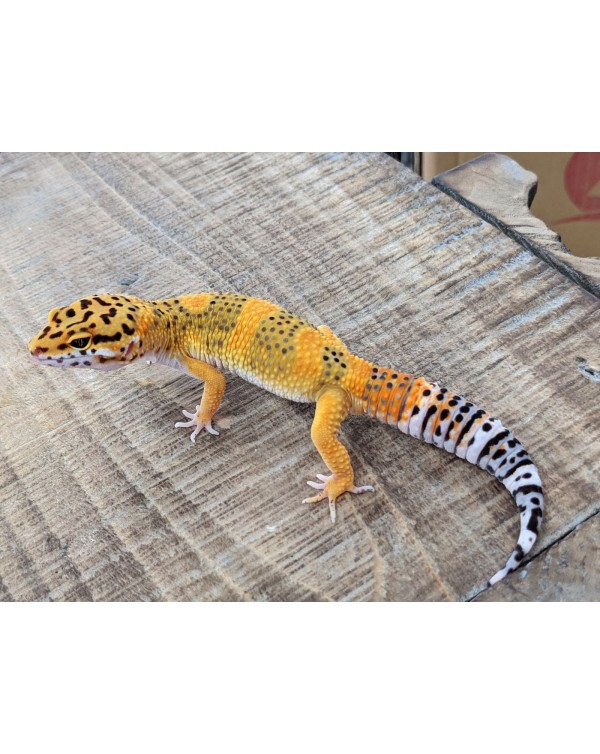 Leopard Gecko - Blood Emerine Male
