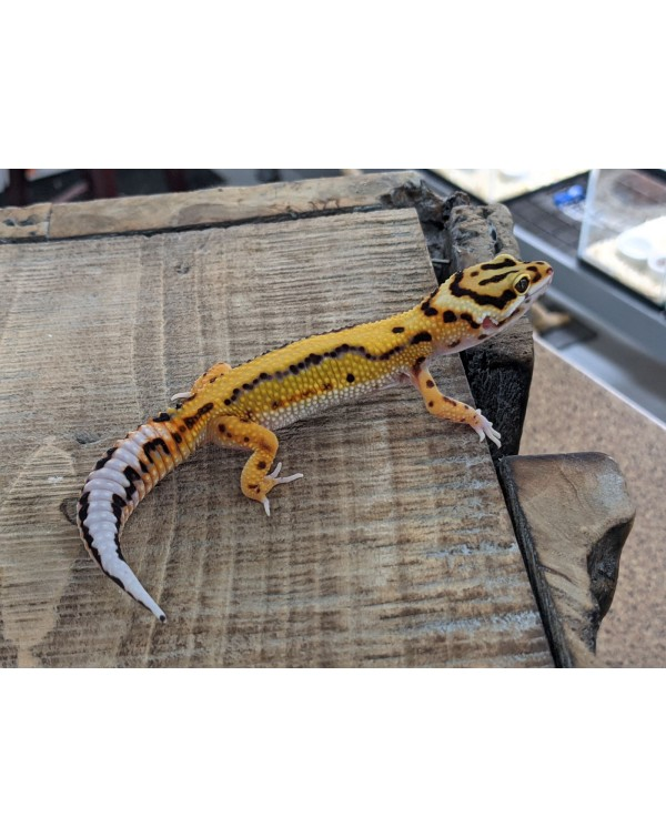Leopard Gecko - Bold Stripe Female