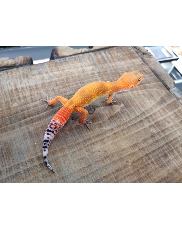 Leopard Gecko - Electric Tangerine Male