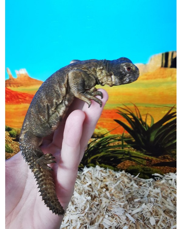 Uromastyx Egyptian babies (captive bred)    2 available