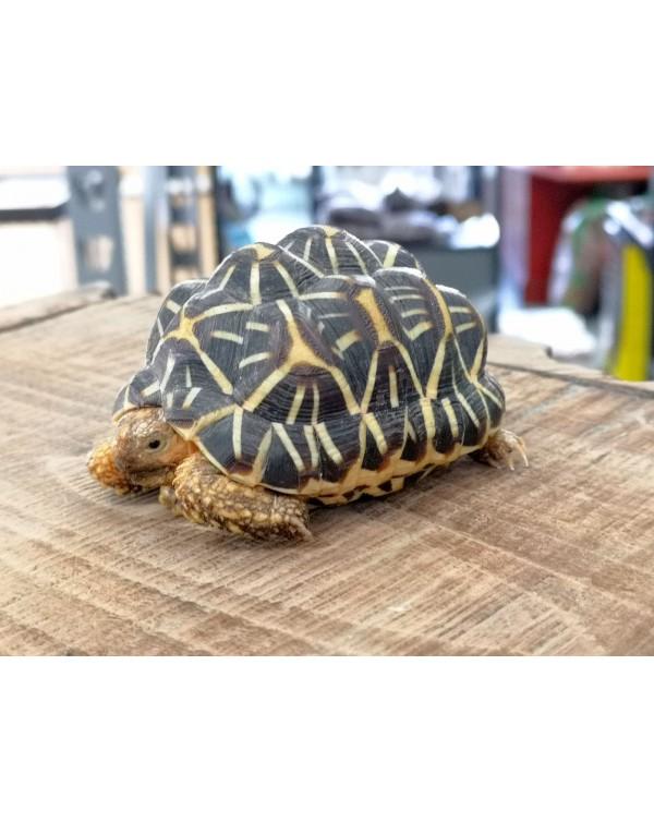 Indian Star Tortoise CB
